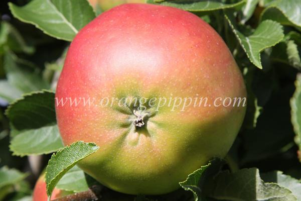 Clark's Seedling apple