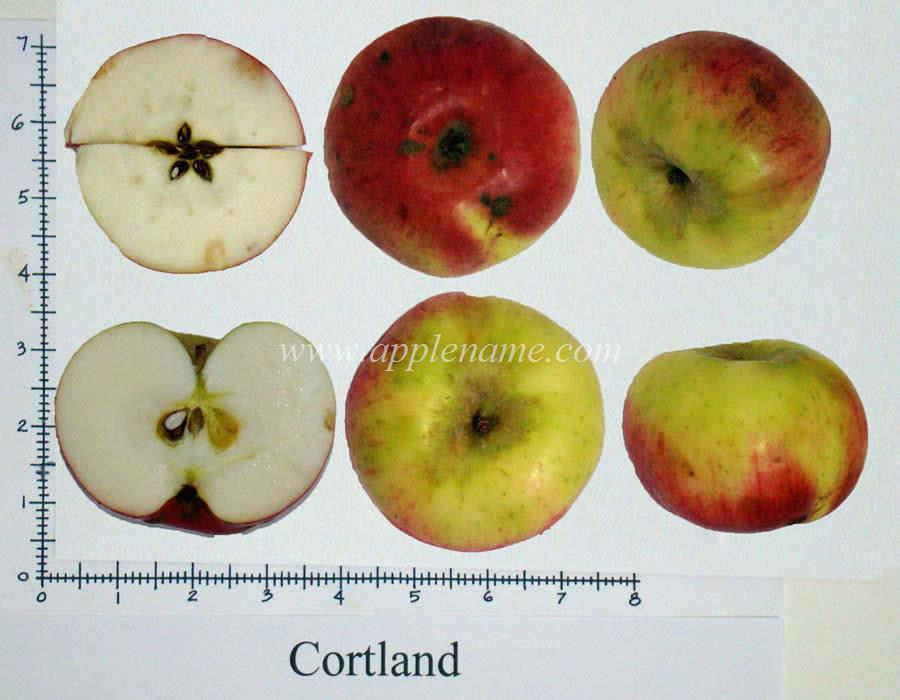 Cortland apple identification