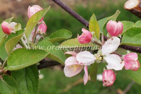 Court Of Wick apple blossom