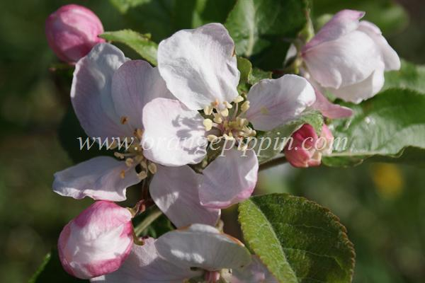 Delprim apple blossom