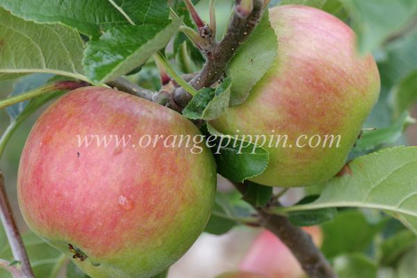 Delprim apples