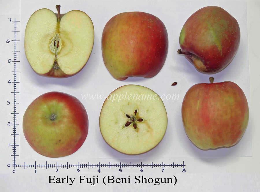Early Fuji apple identification