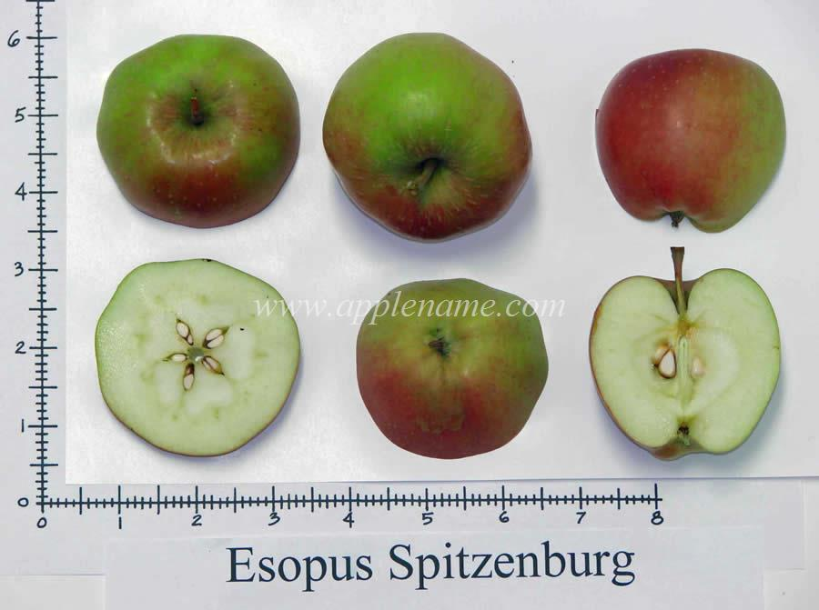 Esopus Spitzenburg apple identification