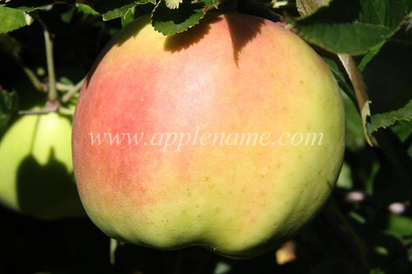 Fall Pippin apple identification - Fall Pippin apple