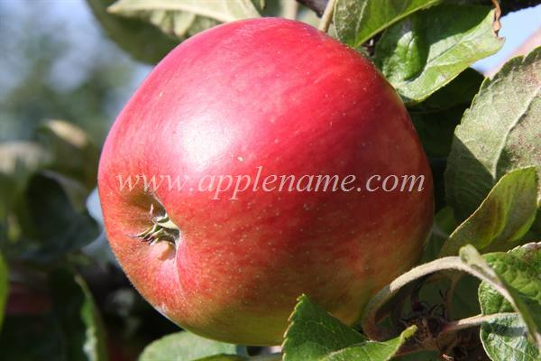 Freedom apple identification - Freedom apple