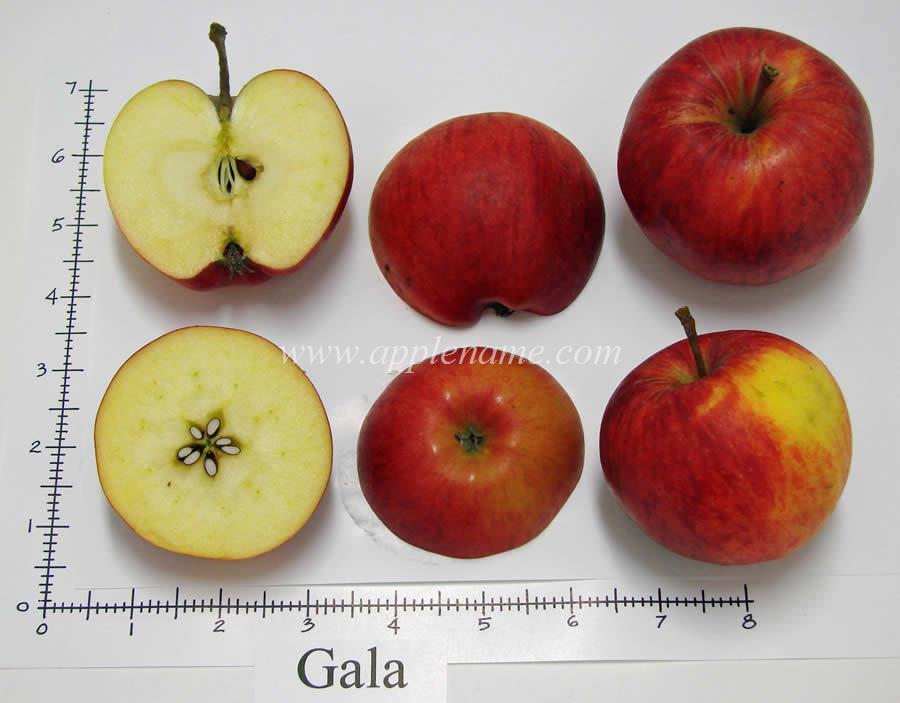 Gala apple identification