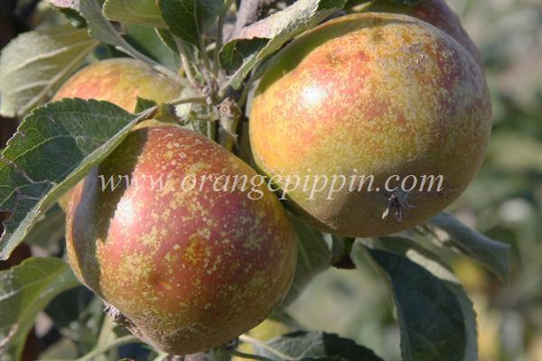 Golden Nugget apples