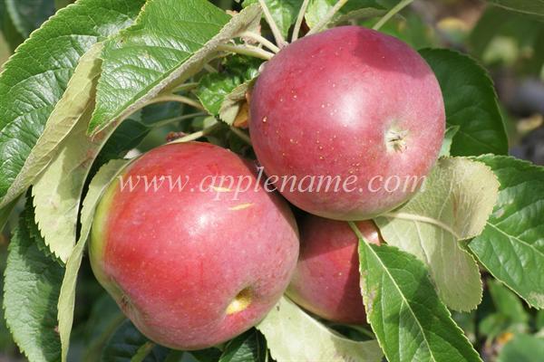 Jonamac apple identification - Jonamac
