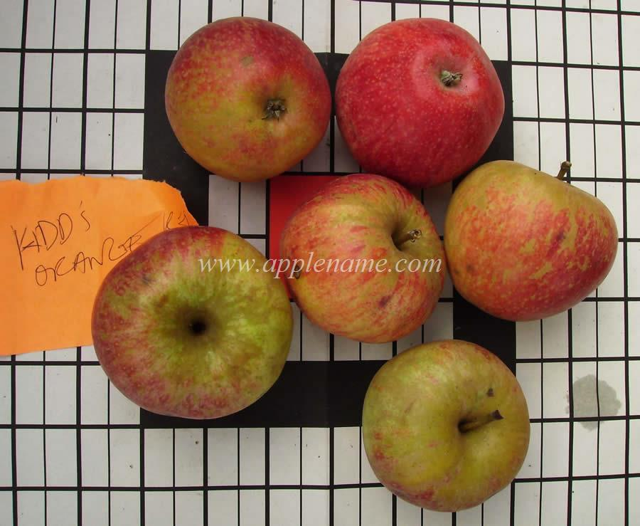 Kidd's Orange Red apple identification