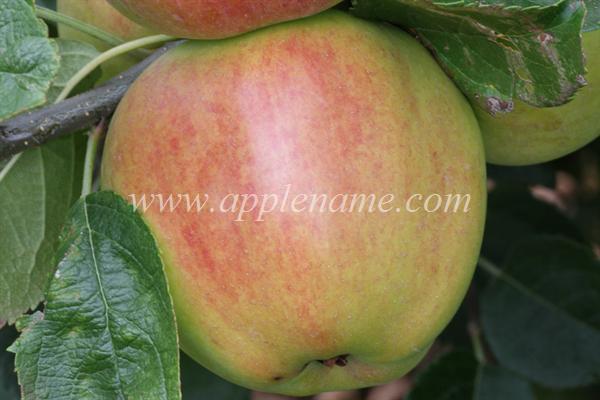 King David apple identification - King David