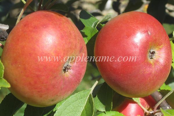 Lady Apple apple identification - Lady Apple