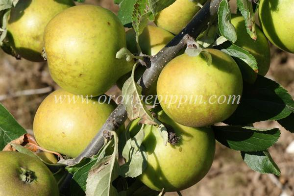 Lemon Pippin apples