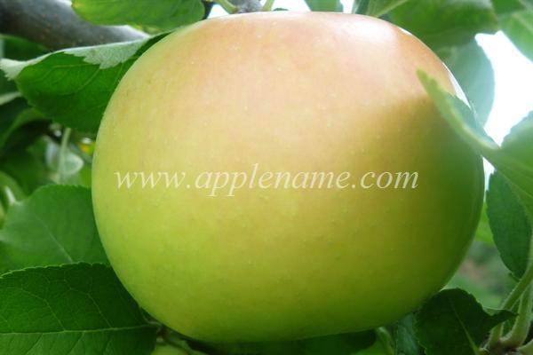 Pristine apple identification - Pristine