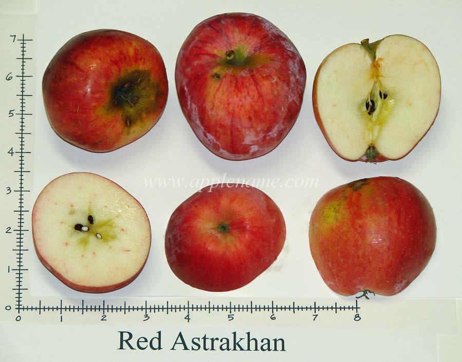 Red Astrachan apple identification