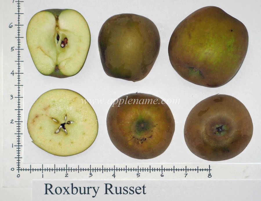 Roxbury Russet apple identification
