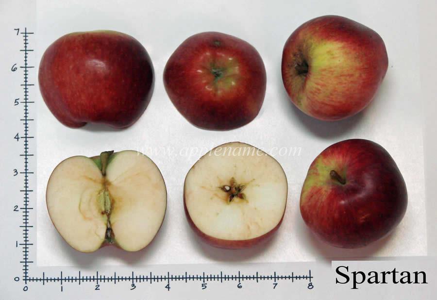 Spartan apple identification