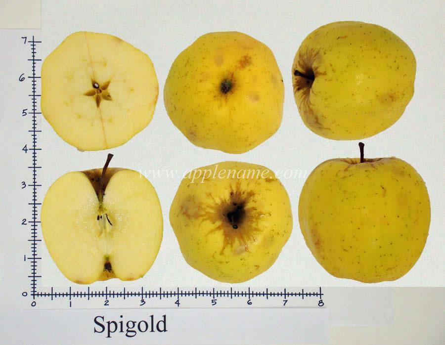 Spigold apple identification