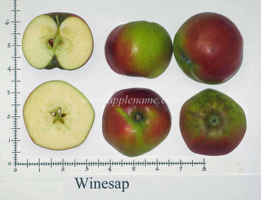Winesap apple identification