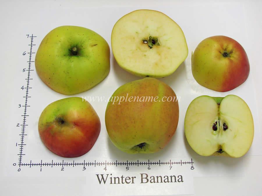 Winter Banana apple identification