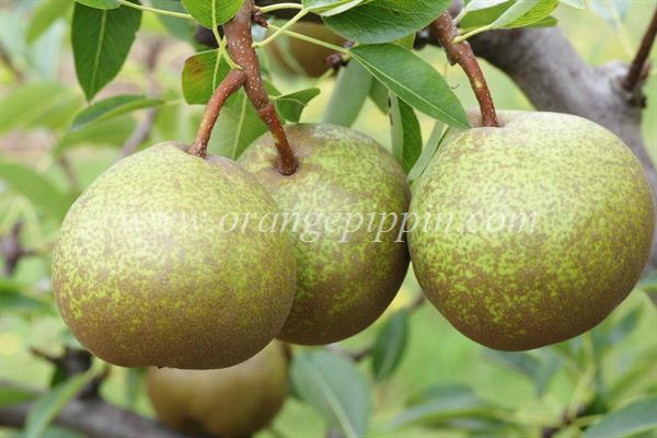 Winter Nelis pear