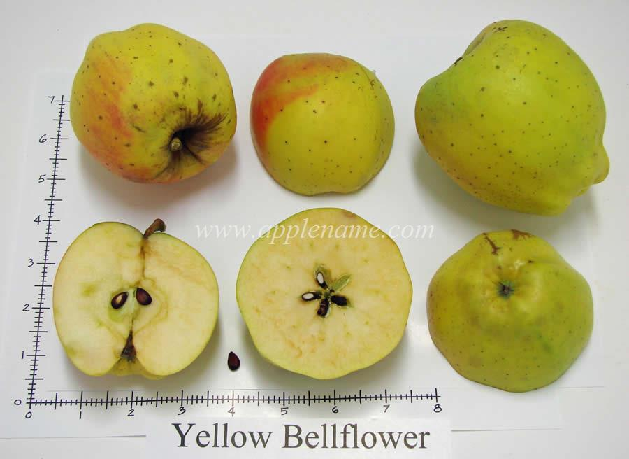 Yellow Bellflower apple identification